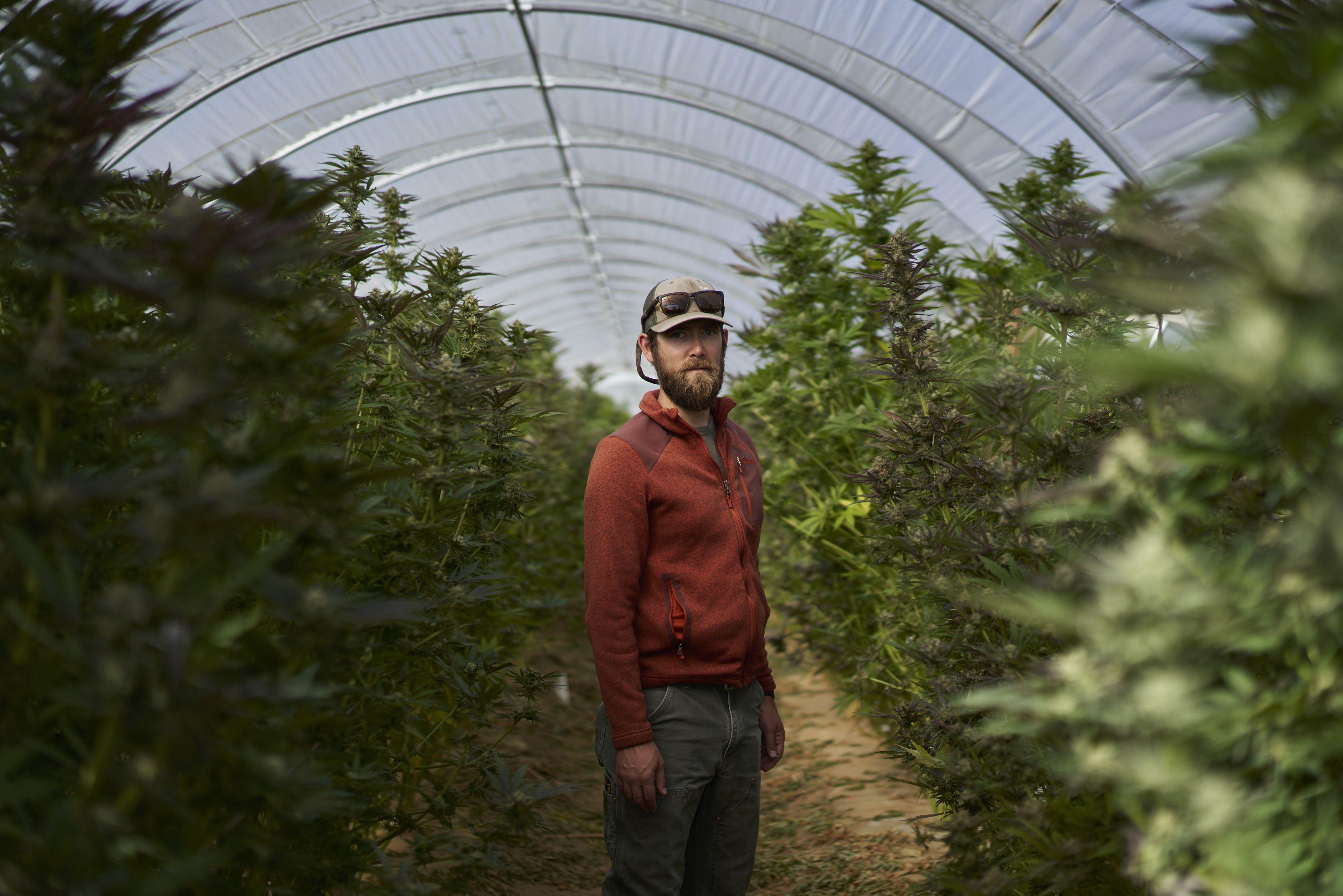 Marijuana is emerging among California's vineyards, offering